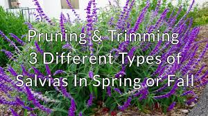 pruning t 3 diffe types of salvias in spring or fall you