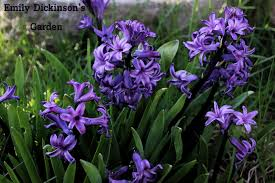 Image result for hyacinth