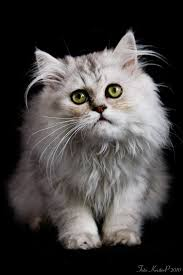 Best 10 Non Shedding Cats ideas on Pinterest Non shedding dogs.