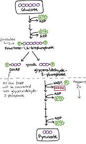 Glycolysis Flow Chart Glycolysis Cellular Respiration Biology Article Khan