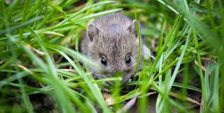 mouse hiding in grass