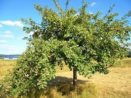 Morus Plant  WikipediaMulberry Tree No Fruit