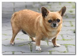 Teacup Chihuahua Size Chart How To Help An Obese Chihuahua Lose Weight