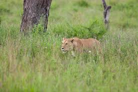 lioness stalking in grass. Simple Lioness Lioness Stalking In The Long Grass Serengeti Tanzania And Stalking In Grass I