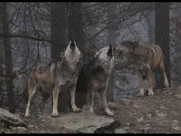real wolves howling at the moon. Wolves Howling Up To The Moon And Real At