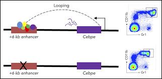 Identification Of A Novel Enhancer Of Cebpe Essential For