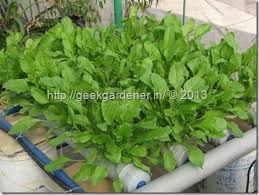 Nft Spinach Green Thumb Spinach Hydroponics Vegetables