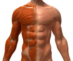 muscular system body used life type chemical form energy  muscular system 2817