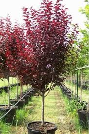 Super Natural Landscapes  Japanese Maple U0027Bloodgoodu0027Red Leaf Fruit Tree