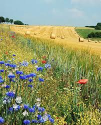 Поле сельское хозяйство Википедия Летнее поле