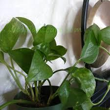 nice variegation in leathery leaves