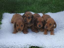 miniature smooth haired red dachshund puppies margate kent