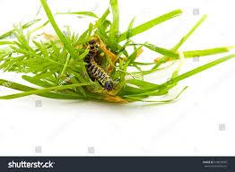Yellow Caterpillar Identification Chart Caterpillar Yellow Form Butterfly Cucullia Lactucae Stock