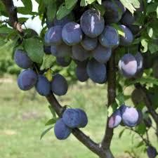 Gourmet Fruit Tree  Plum  All Fruit Trees  Fruit Trees  Fruit Plum Fruit Tree Varieties