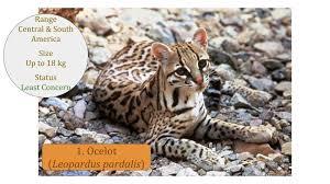 ocelot size ocelot leopardus pardalis classification wild cat family