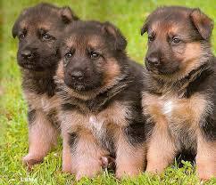 housepet potential german shepherds