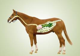 senior horse feed for weight gain