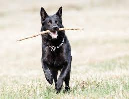 white and black german shepherd.  And Is It Possible For A Purebred Black German Shepherd Dog To Have Some Bits  Of White On Him Or Does The Mean Heu0027s Mutt  Quora Inside White And Black