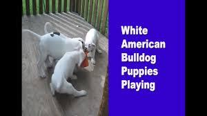 White American Bulldog Puppies Playing ...