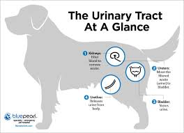 bladder cancer in dogs bluepearl pet