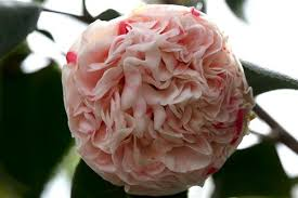 Camellia japonica 'Ester Smith'