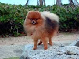 My Pomeranian Kuma Growing Up