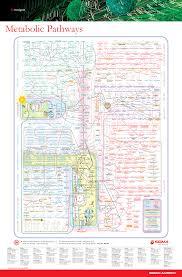 Metabolic Pathways Poster Chemical Engineering Uos Studocu