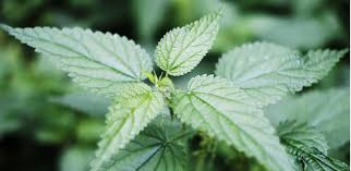 nettle leaf tincture for allergies