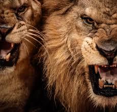 lion, Cat, Predator, Fe Wallpapers HD ...