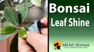 100 homemade leaf clean and shine for you bonsai and house plants you