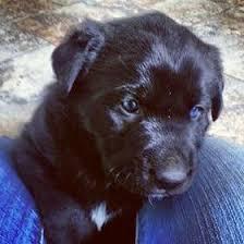 husky black lab mix puppy.  Mix Labrador Husky Mix To Husky Black Lab Mix Puppy