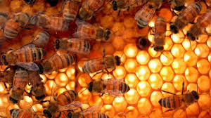 The Threat Of Varroa Mite Is Real But These Australian