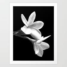 white flowers black background art