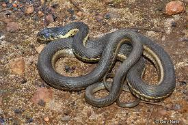 gartersnake gartersnake gartersnake sierra garter snake