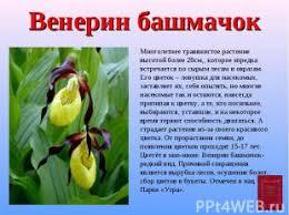 Красная книга Калужской области презентация к уроку Окружающий мир слайда 10 Венерин башмачок Многолетнее травянистое растение высотой более 20см которое и