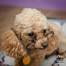 evansville in poodle toy or tea cup meet russell a pet for adoption