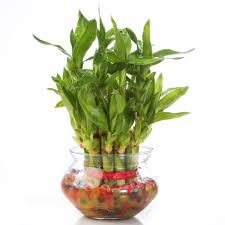 feng shui plants for office. Nurturing Green Lucky Bamboo Two Layer Round Glass Pot Feng Shui Plants For Office E