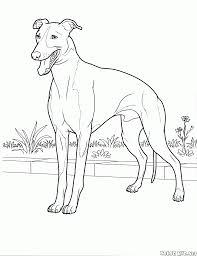Small Picture Coloring page Italian Greyhound