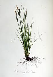 File:Carex caespitosa — Flora Batava — Volume v6.jpg - Wikimedia ...