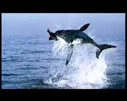 great white shark jumping. Delighful Great GREAT WHITE SHARK JUMPS 25 FEET OVER THE SEA With Great White Shark Jumping E