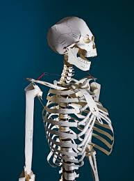 image 1 build your own human skeleton life size
