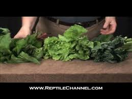 Tortoise Feeding And Nutrition Reptilechannel Com