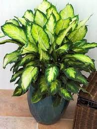 Lovely variegated dumb cane - easy care but BEWARE the juice from this  plant will cause animals serious problems. Keep away from your animals, ...