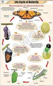 Life Cycle Of Butterfly For Zoology Chart