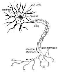 nerve cell diagram human nerve cell diagrams printable diagram site on nervous system printable