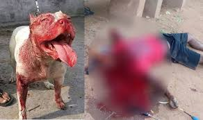 pitbull dog attacks man. Interesting Man Call It The Bane Of Owning Designer Dogs Or Just A Sorry Occurrence In  Shocking Incident Pibull Dog From Chikmagalur Karnataka India Attacked Man  And Pitbull Dog Attacks Man I