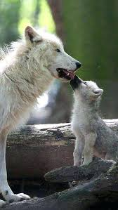 how much does a arctic wolf weigh arctic the polar or white living in the arctic five out of twelve months in total 3 6 feet arctic wolves weight