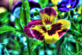 colored pictures of flowers. Perfect Pictures Brightly Colored Flower HDR For Colored Pictures Of Flowers