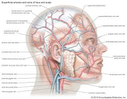 <b>anatomy</b> | Definition, History, & Biology | Britannica.com