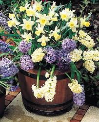 spring garden containers with lasagna gardening is a technique of layering bulbs in containers
